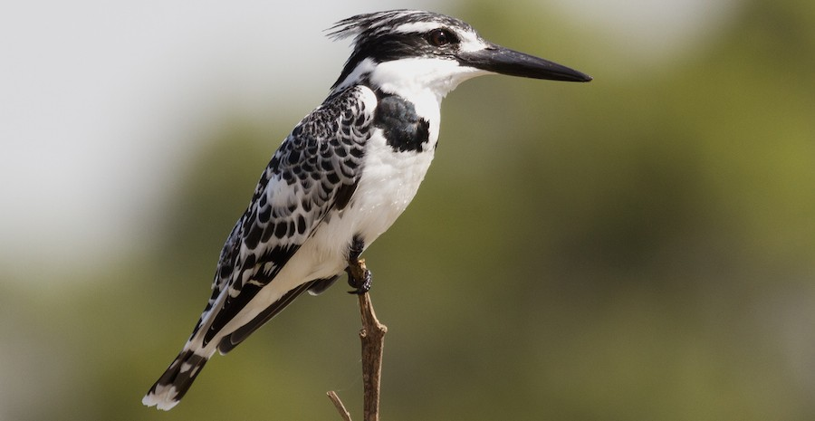 The pied Kingfisher hover over the water and then stabs into it like an arrow